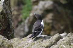 Razorbill (torda do Alca) Fotografia de Stock Royalty Free