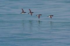 Razorbill-Vögel, die über blaues Meer fliegen Stockfotos