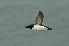 Razorbill. Royalty Free Stock Images
