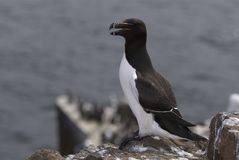 Razorbill256 Royalty Free Stock Photos