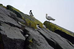 Razorbills和一只支持黑的鸥, Craigleith海岛,苏格兰 免版税图库摄影