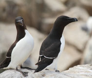 Razorbills Stock Photography