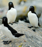 Razorbills Stock Photo