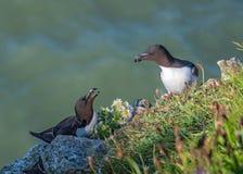 Razorbills - Alca torda on Bempton Cliffs, Yorkshire royalty free stock photo