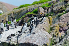 Razorbills Royalty Free Stock Images