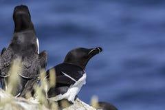 Razorbills gniazduje jeden falezę odkłada zdjęcie royalty free