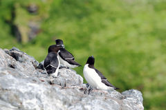 Razorbills group Royalty Free Stock Image
