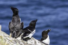 Razorbills nesting on cliff shelve royalty free stock images