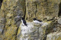 Razorbills nesting on cliff. royalty free stock image