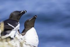 Razorbills nesting one cliff shelve royalty free stock images