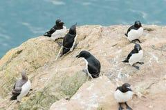 Razorbills que se coloca en los acantilados de la isla Pembrokeshire País de Gales del oeste Reino Unido de Skomer imagen de archivo libre de regalías