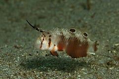 Razorfish de la mancha Fotos de archivo libres de regalías