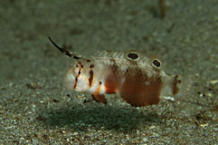 Razorfish de point noir Photos libres de droits