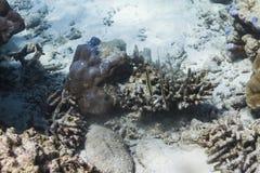 Razorfish at Surin island Royalty Free Stock Image