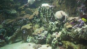 Razorfish w morskim akwarium zapasu materiału filmowego wideo zbiory