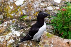 Razorbill on the isle Lunga royalty free stock photography