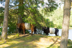 Razza allacciata della mucca di Galloway del bestiame Immagine Stock