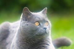 Razza britannica del gatto Fotografia Stock