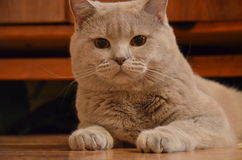 Razza britannici del gatto lilla Fotografia Stock Libera da Diritti