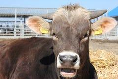 Razza Brown Schwitz delle mucche Immagini Stock Libere da Diritti