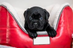 Razza Cane Corso del cucciolo di cane Immagini Stock Libere da Diritti