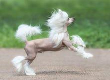 Razza crestata cinese del cane Cane maschio Fotografia Stock Libera da Diritti