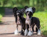 Razza crestata cinese del cane Cane maschio e femminile Immagini Stock Libere da Diritti