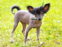 Razza crestata cinese del cane del cane Fotografia Stock Libera da Diritti
