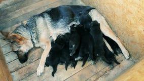 razza d'alimentazione del cane di cuccioli pastore tedesco stock