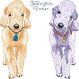 Razza del bedlington terrier del cane di vettore Fotografie Stock Libere da Diritti