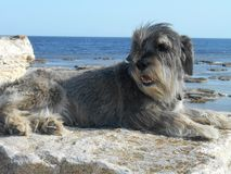Razza del cane dello schnauzer su una pietra su un fondo del mare Fotografie Stock