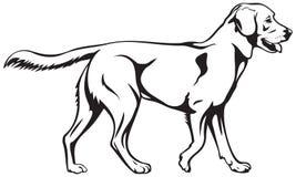 Razza del cane di labrador retriever Fotografia Stock Libera da Diritti
