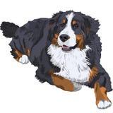 Razza del cane di montagna di Bernese Fotografia Stock