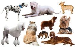 Razza del cane isolata Fotografia Stock