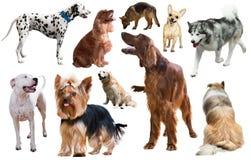 Razza del cane isolata Fotografie Stock Libere da Diritti