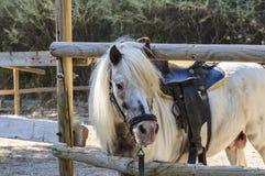Razza del cavallino del cavallo sotto la sella al palo per i cavalli Rodi, Grecia Fotografia Stock Libera da Diritti