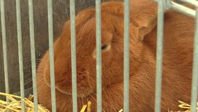 Razza del coniglio di Borgogna in una gabbia alla mostra in repubblica Ceca archivi video