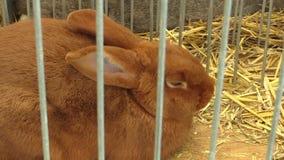 Razza del coniglio di Borgogna in una gabbia alla mostra in repubblica Ceca video d archivio