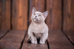 Razza del gatto birmano europeo, gray, sedentesi su un fondo di legno marrone fotografia stock