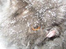 Razza del gatto persiano Fotografia Stock Libera da Diritti