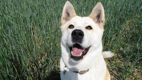 Razza del giapponese di Akita Inu del cane Immagini Stock