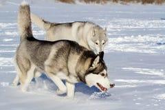 Razza del husky del cane nella neve Fotografia Stock
