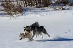 Razza del husky del cane nella neve Fotografia Stock Libera da Diritti