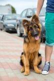 Razza del pastore tedesco del cane domestico Fotografie Stock Libere da Diritti