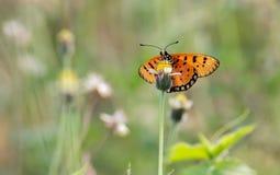 Razza della farfalla Immagine Stock Libera da Diritti