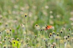 Razza della farfalla Fotografia Stock Libera da Diritti