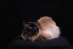 Razza di birmano del gatto Fotografia Stock