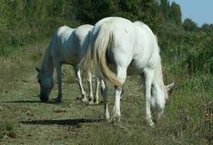 Razza di Camargue dei cavalli Immagine Stock