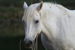 Razza di Camargue del cavallo Fotografie Stock