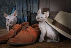 Razza di Don Sphinx di due piccola gattini Fotografie Stock
